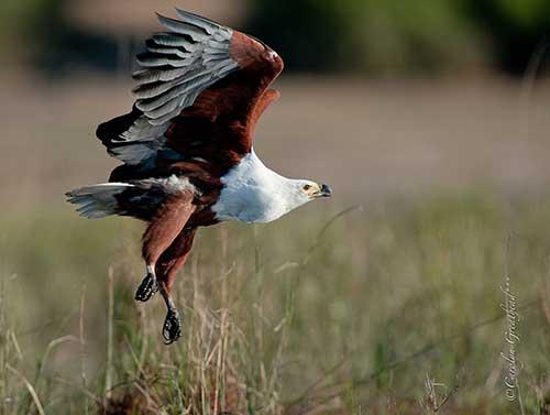 Beautiful Fish Eagle