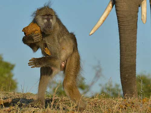 A Baboons prize possesion