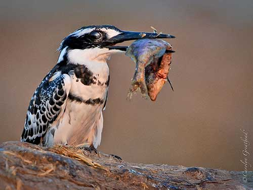 A Kingfisher's breakfast