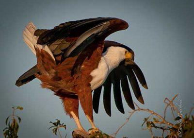 eagle-bird-viewing