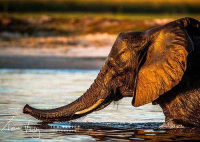 Elephant Swimming in the Zambezi River