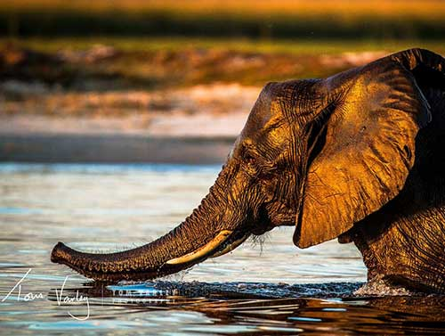 Elephant Swimming in the Zambezi River