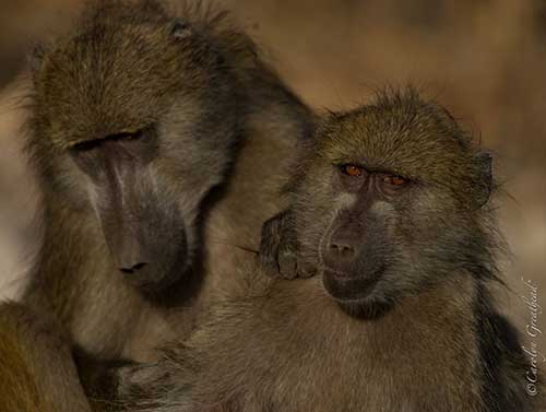 game-drive-baboons