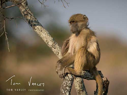 Baby Baboon in a tree