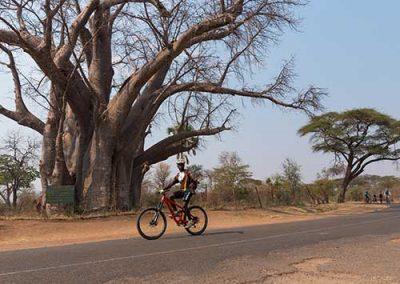 WH-bike-tour-baobab