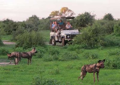 Viewing wild dogs on a game drive