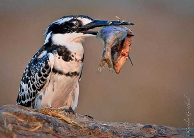 A Kingfisher's breakfast