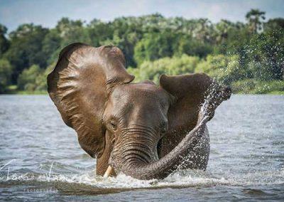 Elephant bathing in the Zambezi River.