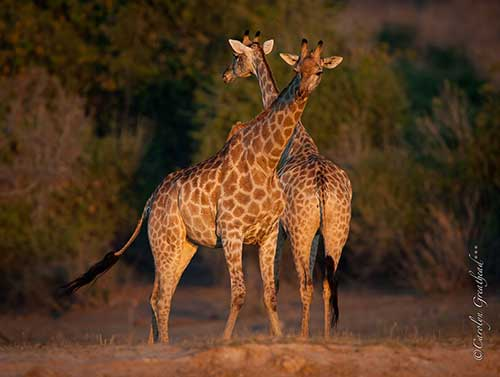 Two beautiful girafffes