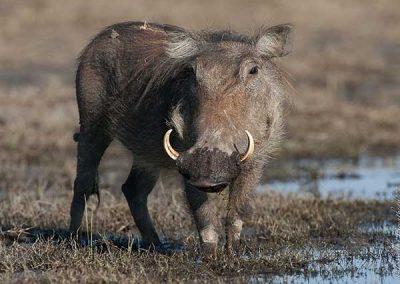 Warthog enjoying a mud bath