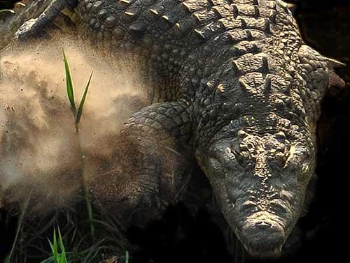 Crocodile on the banks of the Zambezi