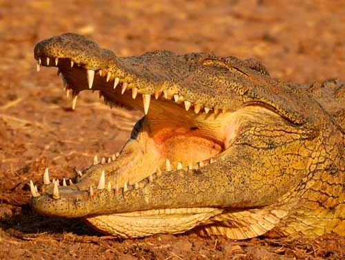 Crocodile spotted on safari