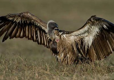 Vulture Spotted on Safari