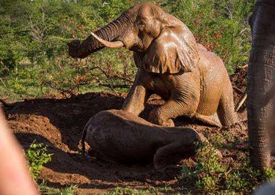 Elephants playing - Victoria Falls
